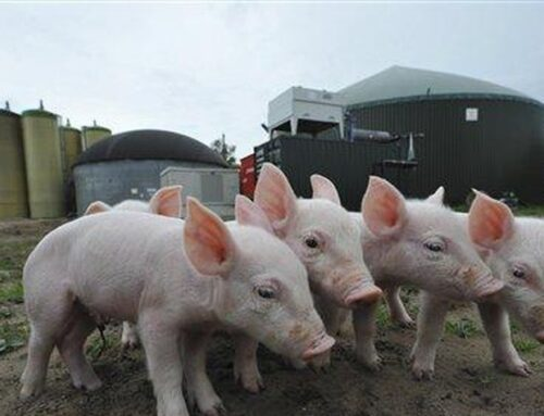 America's Farmers Fight Back Against California's War on Bacon