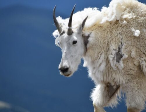 Mountain goat kills grizzly bear by stabbing it with razor-sharp horns