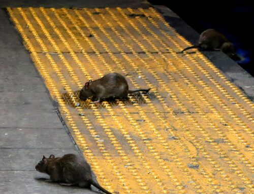 Leptospirosis cases surge in NYC: What to know about the rat-spread infectious disease