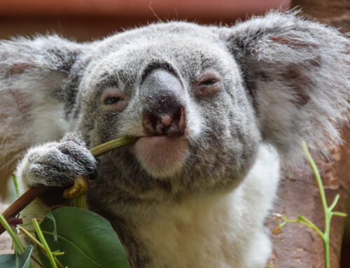 Australian koalas to get vaccinated against sexually transmitted disease to save the species